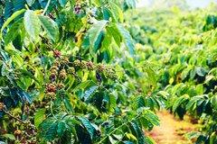 Organic Brazil Decaf