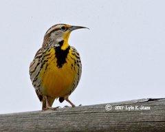 Western Meadowlark #2