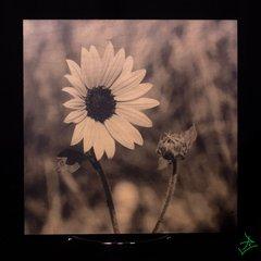 "8"" X 8"" Black & White Daisy Wood Photo"