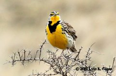 Western Meadowlark #1
