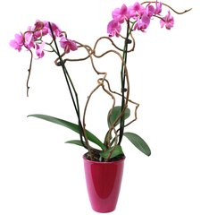 Blooming Orchid Design - starting at