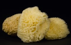 Wool Sponge  Harvested from the Gulf of Mexico