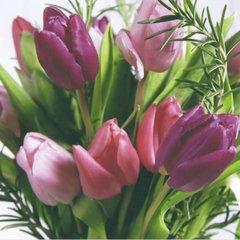 Spring - Tulipa