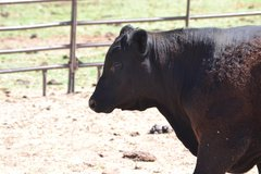 Select Virgin Yearling Bulls