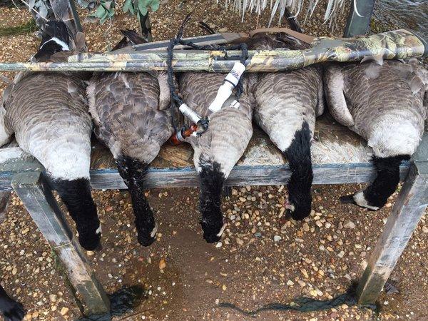 Canada Goose Hunts
