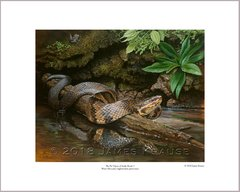 """The Pit Vipers of Snake Road: 1. Water Moccasin"" (Agkistrodon piscivorus)."" 16"" x 20"" Limited Edition Print"
