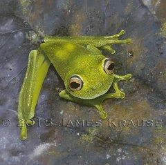 """Hypsiboas cinerascens, 20"""" x 20"""" Canvas Giclee"""