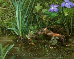 """America's Fragile Armor. Bog Turtle (Glyptemys muhlenbergii)."" 11"" x 14"" Canvas Giclee"