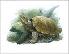 """Siebenrockiella leytensis 18"""" x 24"""" Canvas Giclee"""