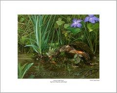 """America's Fragile Armor. Bog Turtle (Glyptemys muhlenbergii)."" 16"" x 20"" Limited Edition Print"
