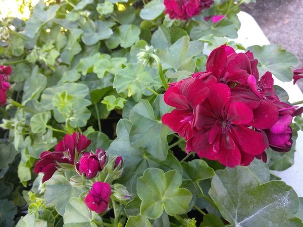 Ivy geranium zonal merlot 1 plant farmer joe plants - How to care for ivy geranium ...