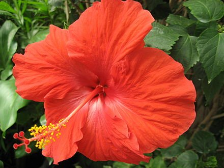 Hibiscus Celia Double Red | farmer joe plants