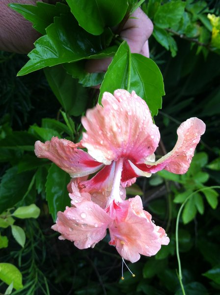 Hibiscus Peach Poodle - Double Peach | farmer joe plants