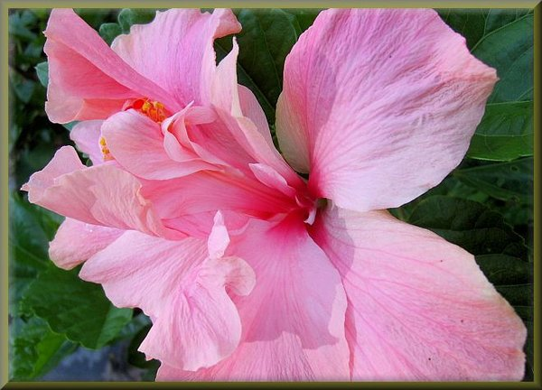 HIBISCUS - DOUBLE PINK | farmer joe plants