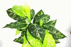 Artificial X-Large 100cm Dieffenachia Plant