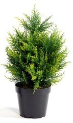 50cm Potted Cypress