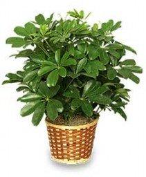 DWARF SCHEFFLERA Brassia arboricola