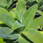 Fox Tail Agave Agave attenuata 4 gallon