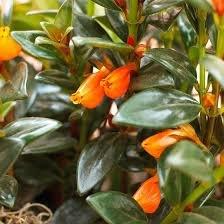 Guppy, The Goldfish Plant