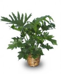 TREE PHILODENDRON Philodendron selloum