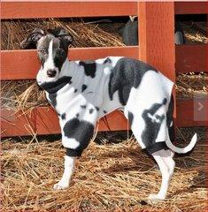 Moo Moo Cow Dog Jammies