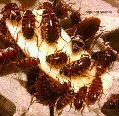 Australian Roaches