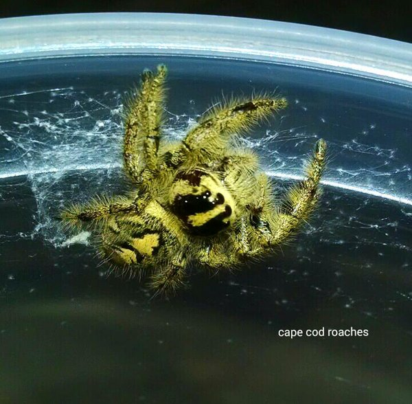 X. SOLD OUT X. Hyllus giganteus - Jumping Spider RARE