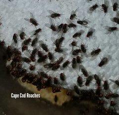 Hydei Fruit Fly