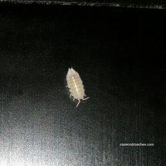 Dwarf White Isopods
