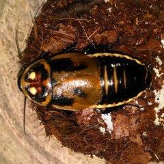 Warty Glowspot Roaches