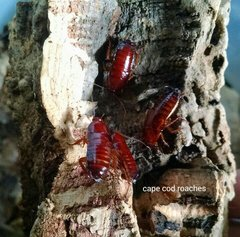 Red Goblin Roaches