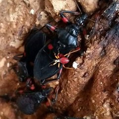 X  _SOLD OUT_ Red Spot Assassin Bug