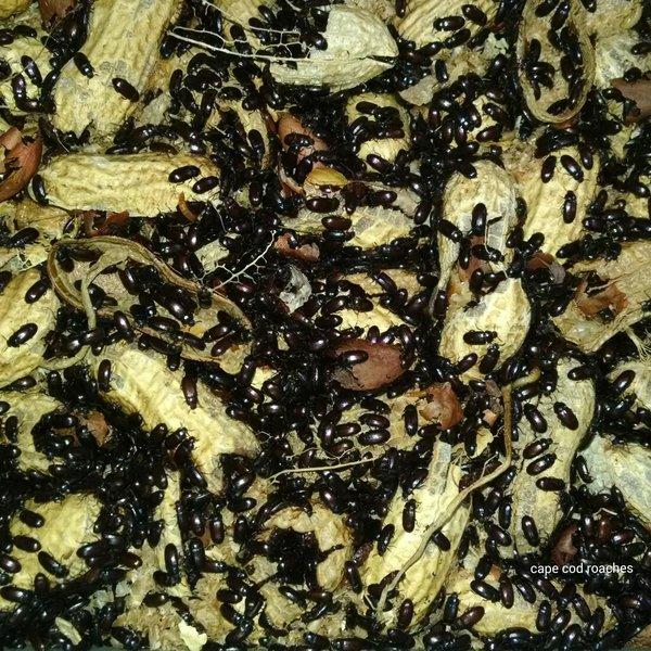 Peanut Beetles