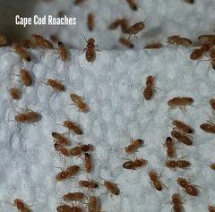 Wingless Golden Melanogaster Fruit Fly