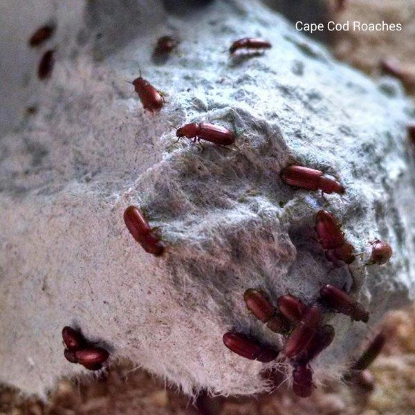 Rice Flour Beetles