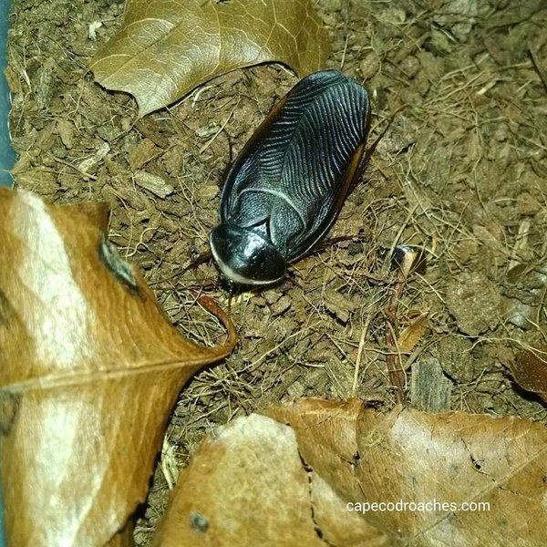 Egyptian Desert Roach