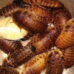 XL Dubia Roaches