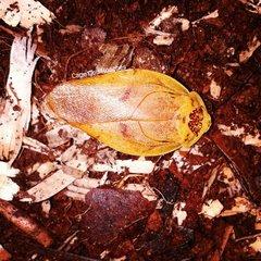 Yellow Porcelain Roaches