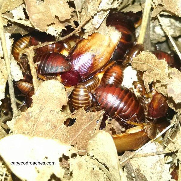 Ember Roaches