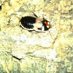 Glowspot Roaches
