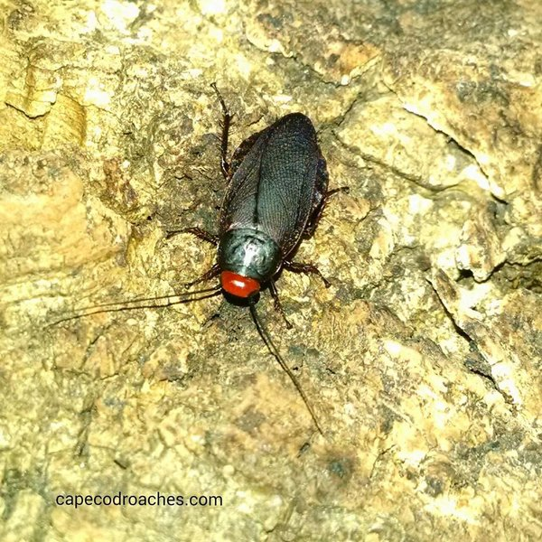 Red Head Roaches