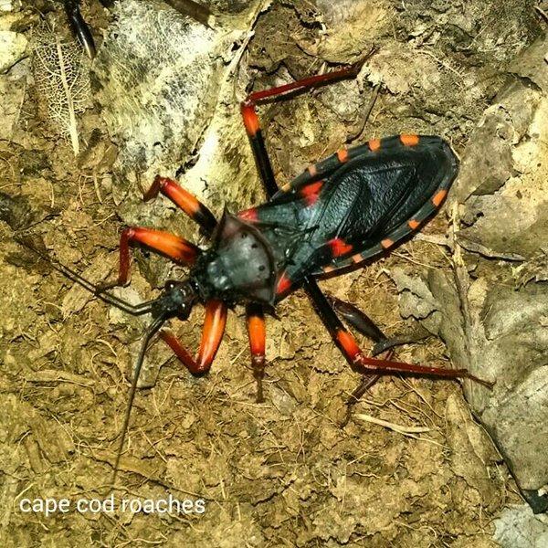 Horrid King Assassin Bug
