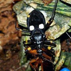 White Spot Assassin Bug