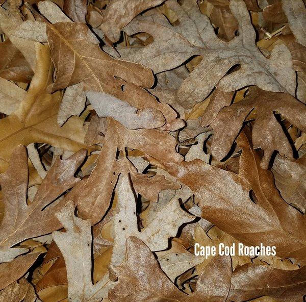 Deciduous Hardwood Oak & Maple Leaves