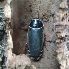 Extinct Roach