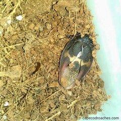 Burmese Beetle Mimic