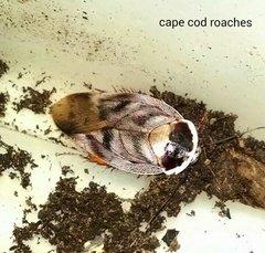 Patchwork Roach