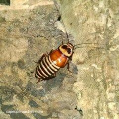 Zebra Roaches