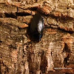 Shadow Roaches