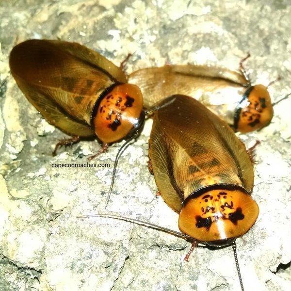 Orange Head Roaches